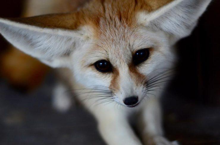Fennec Fox - Animal Wo... Fergie