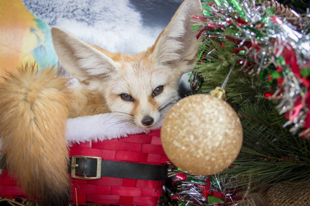 Christmas with the Critters Fennec Fox Animal World and Snake Farm Zoo