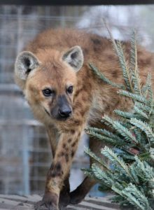 Spotted Hyena Christmas Tree Enrichment Animal World and Snake Farm Zoo