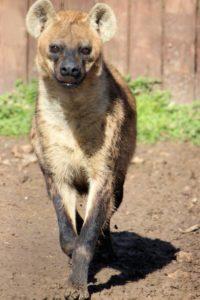 hyena running animal world and snake farm zoo