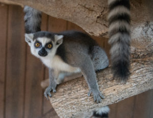 Baby Ring Tailed Lemur Animal World and SNake Farm Zoo