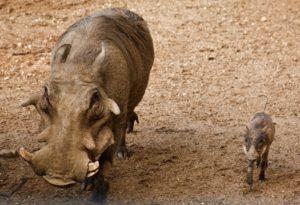 warthog baby