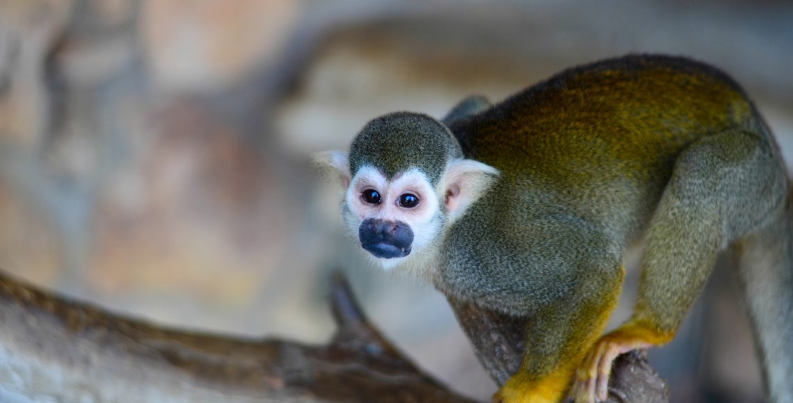 Squirrel monkeys are small primates that live in the canopy layer of tropical rainforests in South America. Measuring as little as 10 inches from the top of ... & Squirrel Monkey - Animal World and Snake Farm