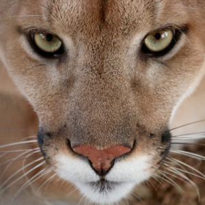 Mountain Lion Cougar Close Sarah Animal World And Snake Farm Zoo