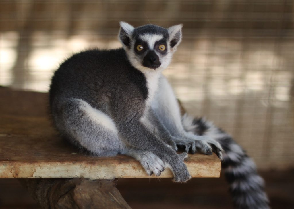 Ring Tailed Lemur Care Sheet
