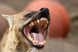 Spotted Hyena Laughing Animal World and Snake Farm Zoo
