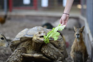 Sulcata tortoise feeding show animal world and snake farm zoo