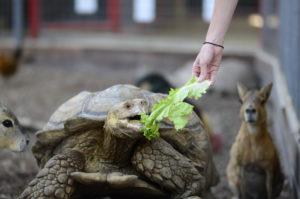 Sulcata tortoise feeding show animal world and snake farm zoo