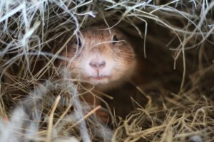 Prairie Dog Animal World and Snake Farm Zoo Snuggled in Hay Bedding