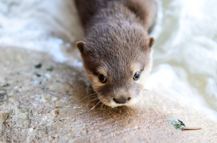 Asian Small Clawed Otter Animal World And Snake Farm