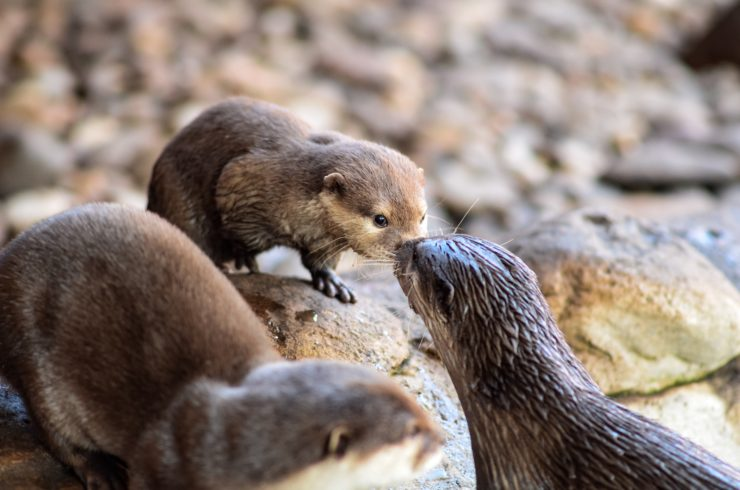 Asian Small Clawed Otter - Animal World and Snake Farm
