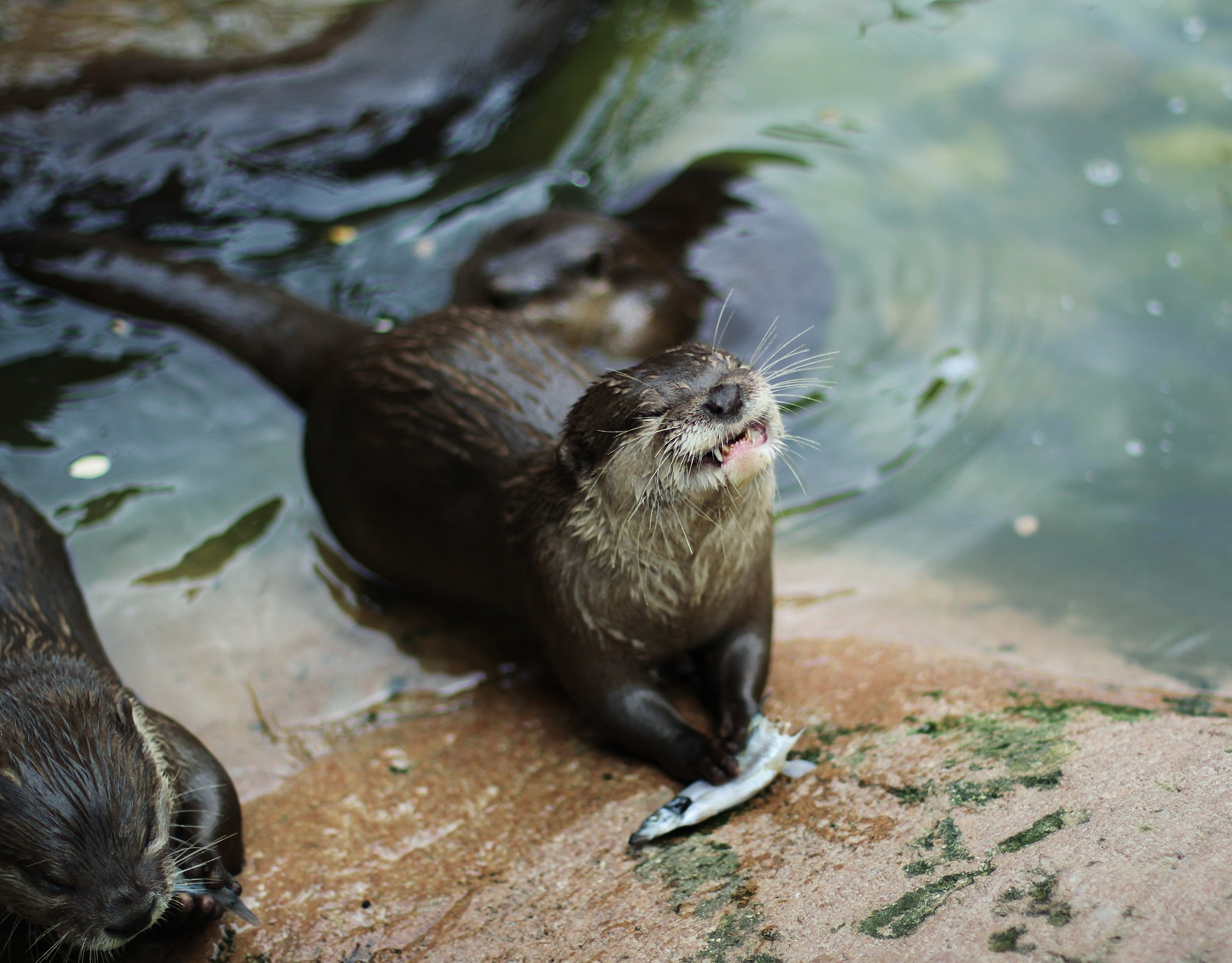 Otter Smiling with Fish Animal World and Snake Farm Zoo