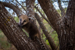 Baby Coati Animal world and snake farm zoo