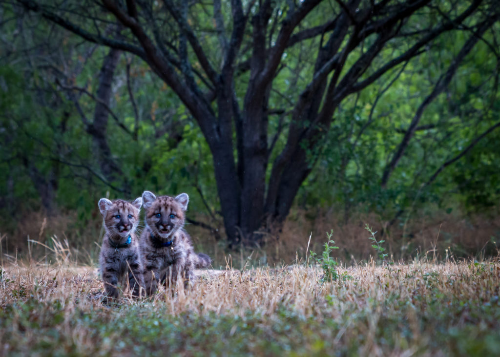 baby cougar mountain lion