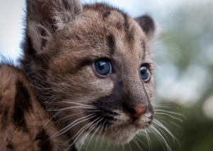 cougar baby mountain lion