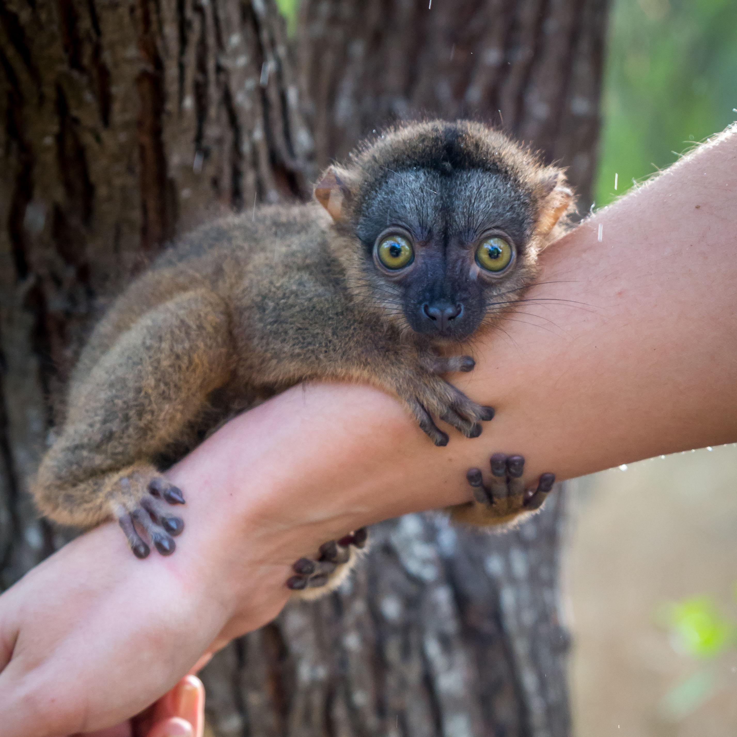 Leapin Lemur!