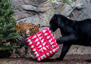 Christmas with the Critters Animal World and Snake Farm Zoo Jaguar Black Panther Holiday