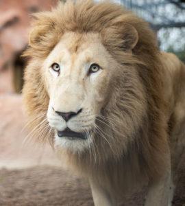 Motswari White Lion Animal World and Snake Farm Zoo Winter